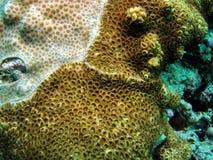 棕色珊瑚白色 免版税库存图片