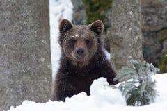 棕色的熊一点 库存图片