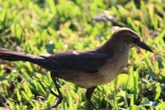 棕色的鸟一点 库存照片