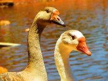 棕色的鸭子-和蓝眼睛 免版税图库摄影
