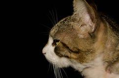 棕色目的猫画象在黑背景的 库存图片