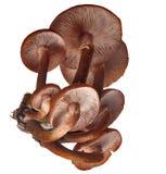 棕色真菌组蜂蜜 免版税库存照片