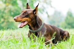 棕色短毛猎犬位于的短毛猎犬 库存照片
