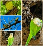 棕色红喉刺莺的长尾小鹦鹉 免版税库存照片