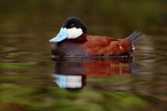 棕色红鸭子,氧化尿嘧啶jamaicensis男性,与美丽绿色和红色上色了水表面 免版税库存照片