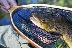 棕色纵向鳟鱼 免版税图库摄影