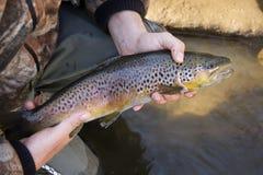 棕色纵向鳟鱼 免版税库存图片