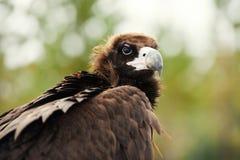 棕色老鹰纵向 免版税库存图片