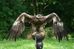 棕色老鹰 免版税库存照片