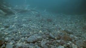 棕色草,在海底上的海草丛林  股票视频