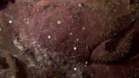 棕色草,在海底上的海草丛林  影视素材