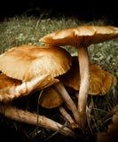 棕色蘑菇 库存图片