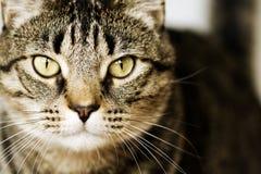棕色虎斑猫详细的特写镜头  图库摄影