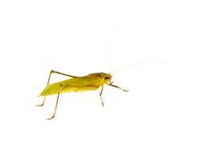 棕色蚂蚱 免版税库存图片