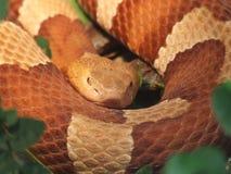 棕色蛇 免版税库存图片