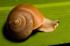 棕色蜗牛 免版税库存图片