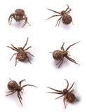 棕色蜘蛛 免版税库存照片