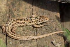 棕色蜥蜴,蝎虎座agilis 俄国 库存照片