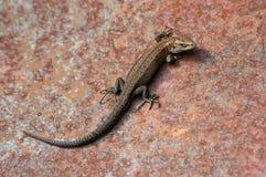 棕色蜥蜴 库存照片
