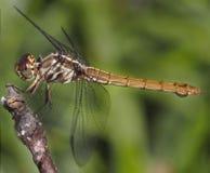 棕色蜻蜓 免版税库存照片