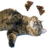 棕色蝴蝶猫 库存图片