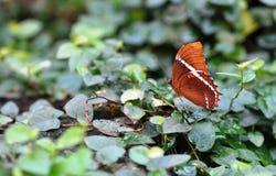 棕色蝴蝶绿叶 免版税库存图片