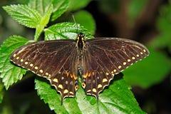 棕色蝴蝶黑暗 库存照片
