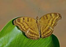 棕色蝴蝶 库存图片