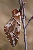 棕色蝴蝶 免版税库存照片
