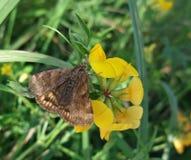 棕色蝶粉花黄色 库存图片