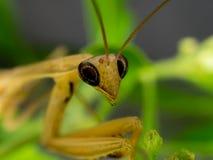 棕色螳螂特写镜头在自然的 库存照片