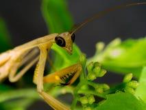 棕色螳螂特写镜头在自然的 免版税图库摄影