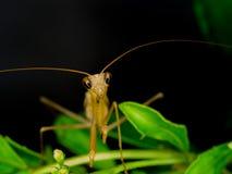 棕色螳螂特写镜头在自然的 库存图片