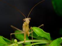 棕色螳螂特写镜头在自然的 免版税库存图片