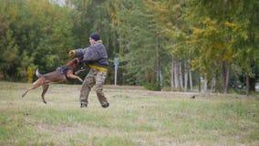 棕色训练的德国牧羊犬狗咬伤他的在保护衣服的教练员在胳膊 库存照片