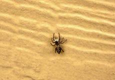 棕色跳的宏观蜘蛛 免版税图库摄影