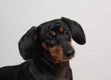 棕色达克斯猎犬黑暗 免版税库存照片