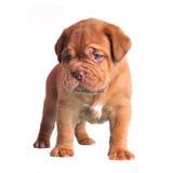 棕色逗人喜爱的小狗 图库摄影