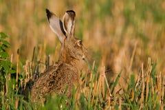 棕色野兔纵向开会 免版税库存照片