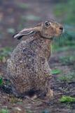 棕色野兔纵向开会 库存照片