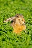 棕色野兔纵向开会 库存图片