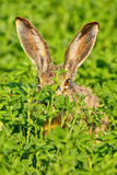 棕色野兔纵向开会 免版税图库摄影