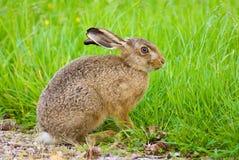 棕色野兔 免版税图库摄影