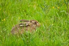 棕色野兔 库存照片