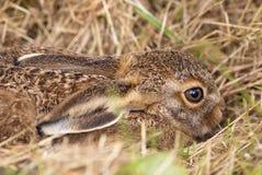 棕色野兔leveret 免版税图库摄影