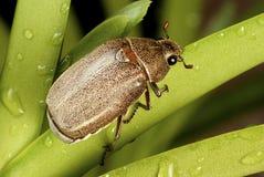 棕色金龟子geilenkensri holotrichia 免版税库存照片