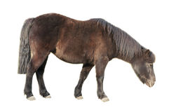棕色长毛的小马 免版税库存图片