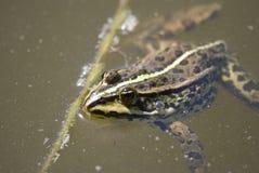 棕色青蛙池塘 免版税库存图片