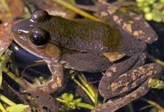 棕色青蛙绿色阶段 库存图片