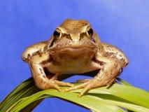 棕色青蛙 库存照片